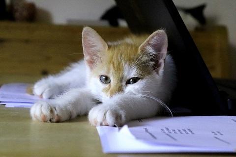 Kisaa makaa pöydällä tietokoneen ja paperien vieressä.