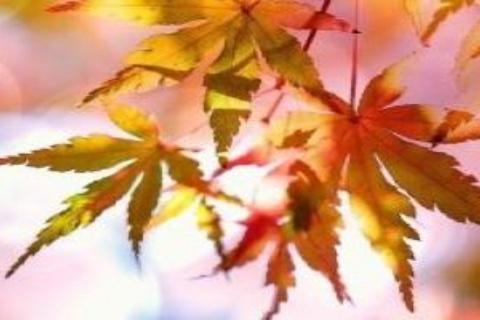 Syksyiset lehdet auringonvalossa.